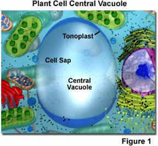 Vakuola pada tumbuhan
