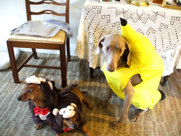 ... Halloween and the daycare Halloween event was cancelled for heavy rain and snow. So the dogs wore their outfits in the house for these photos only. ( & The On-Line Buzzletter: Halloween Costumes: the dogs