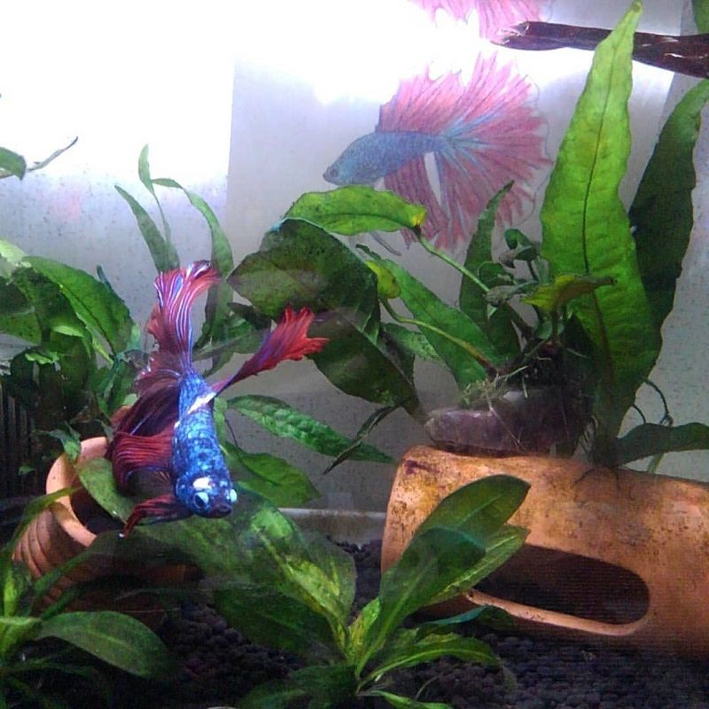 Live Plants for Betta Fish Vase Image