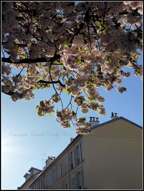 Cerisier en fleurs Versailles Montreuil