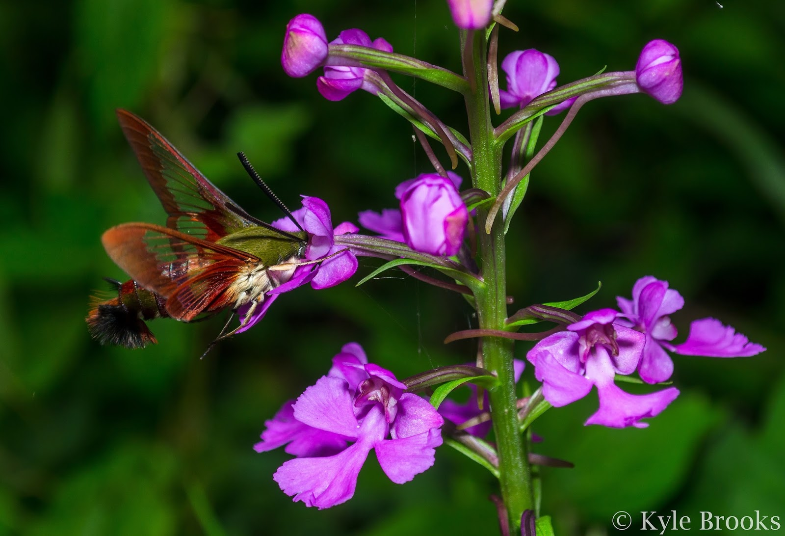 Purple Fringeless Orchid Pollinator