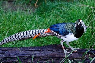 Foto Lady Amherst's Pheasant Terbaru Jual Ayam Hias HP : 08564 77 23 888   BERKUALITAS DAN TERPERCAYA Foto Lady Amherst's Pheasant Terbaru Galeri Foto Lady Amherst's Pheasant Terbaru