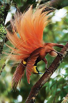 As plumas das aves-do-paraíso são bastante importantes nas sociedades nativas da Nova Guiné como símbolo de estatuto social.