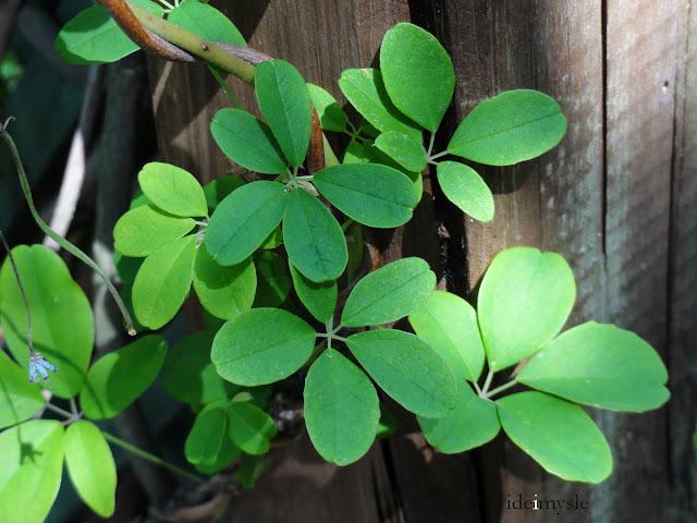 akebia pięciolistkowa, akebia quinata, jadalne rośliny ogrodowe