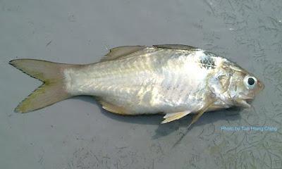 Blackspot Threadfin or Polydactylus sextarius