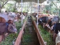 mempercepat pertumbuhan sapi