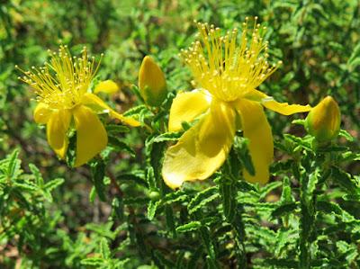 Flores amarillas y hojas de borde ondulado de Hypericum balearicum