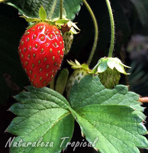 Fruto de una planta de Fresa, género Fragaria