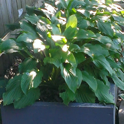 Honeybells Hosta