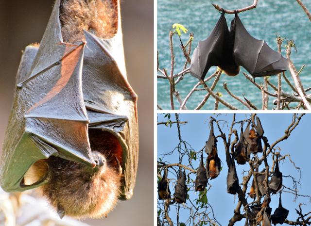 لماذا تنام الخفافيش في وضع مقلوب؟! gallery-preview.png