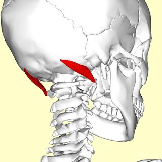 oblique capitis superior muscle, action, muscle picture