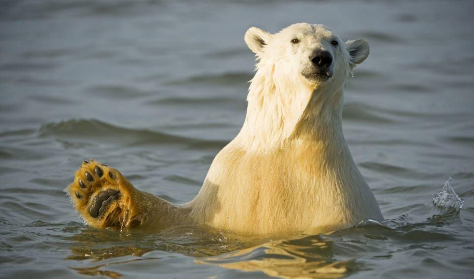 الدببة القطبية 0_94f13_7b6fe418_ori