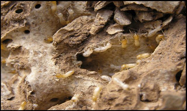 حشرة الارضة,حشرة الارضة وطرق مكافحتها,حشرة الارضة الملكة,حشرة الارضة في الخشب,الأرضة,الارضة,حشرة,النمل الأبيض,شاهد,النمل الابيض,الحشرة الاكلة,اخطر حشرة على الارض,التربة,الارض,حشرات,مكافحة الحشرات,الارضه,مكافحة حشرة البيوت