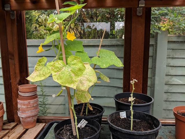 growing mini cucumber seedlings success failure