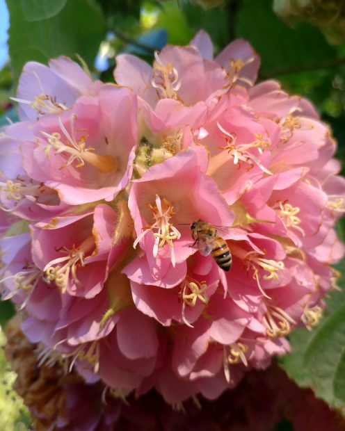 pink flowers clustered into a large pink flower ball