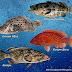 Begini Cara Atasi Hama Penyakit Budidaya Ikan Kerapu Oleh:Abdullah, A.Pi, MMA / Widyaiswara Madya BPPP Medan