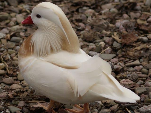 Ao contrário de outras espécies de patos, o mandarim permanece com a parceira com a qual acasalou para o resto da vida. Inclusive auxilia no cuidado com os filhotes.