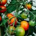 Bagaimana Nak cantik? Jom Cuba Kuib Ais Tomato Untuk Menjadikan Wajah Berseri Dan Cantik