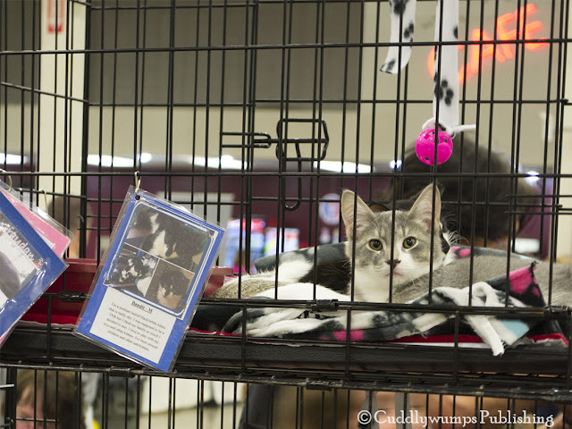 Gray/white kitten--National Capital Cat Show 2017
