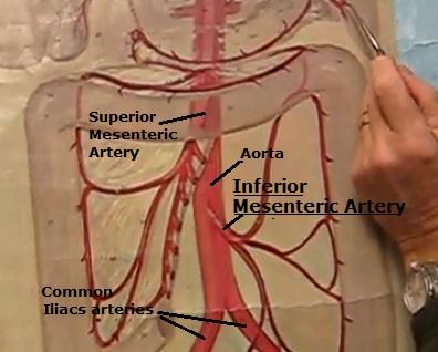 Science, Natural Phenomena & Medicine: Inferior Mesenteric Artery
