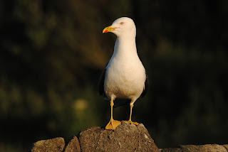 Lesser Black-backed Gull by Samuel Hood