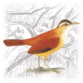 Casaca-de-Couro-Amarelo (Furnarius leucopus)