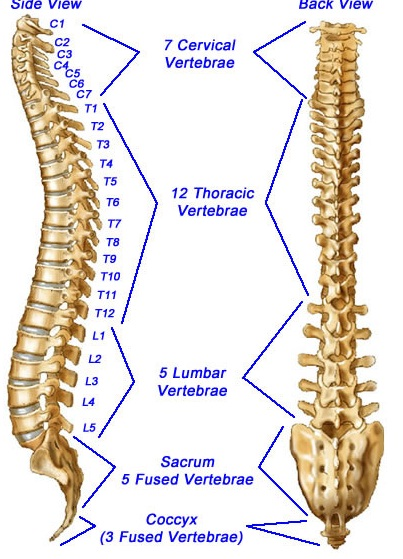 Anatomy of spinal vertebrae