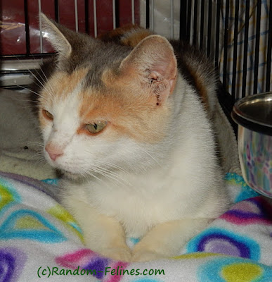 adult dilute calico cat