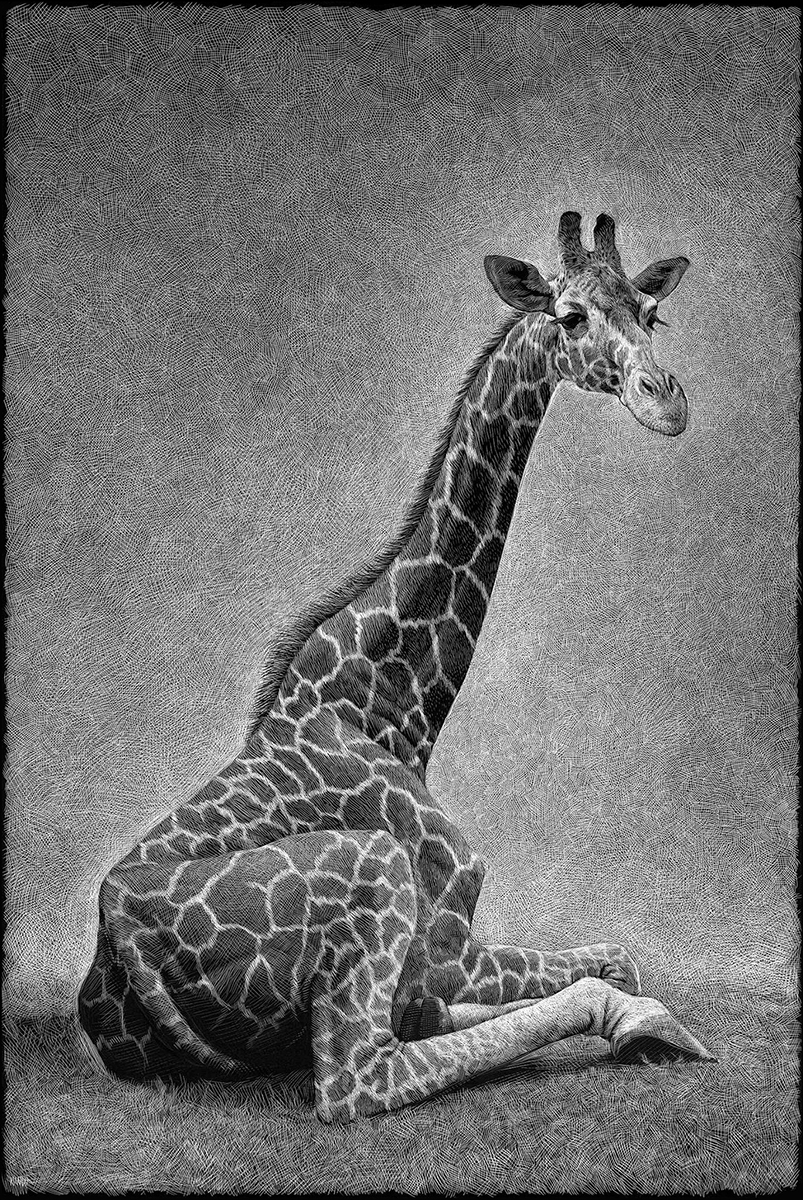 08-Giraffe-Ricardo-Martinez-Wild-Animals-inside-Scratchboard-Drawings-www-designstack-co