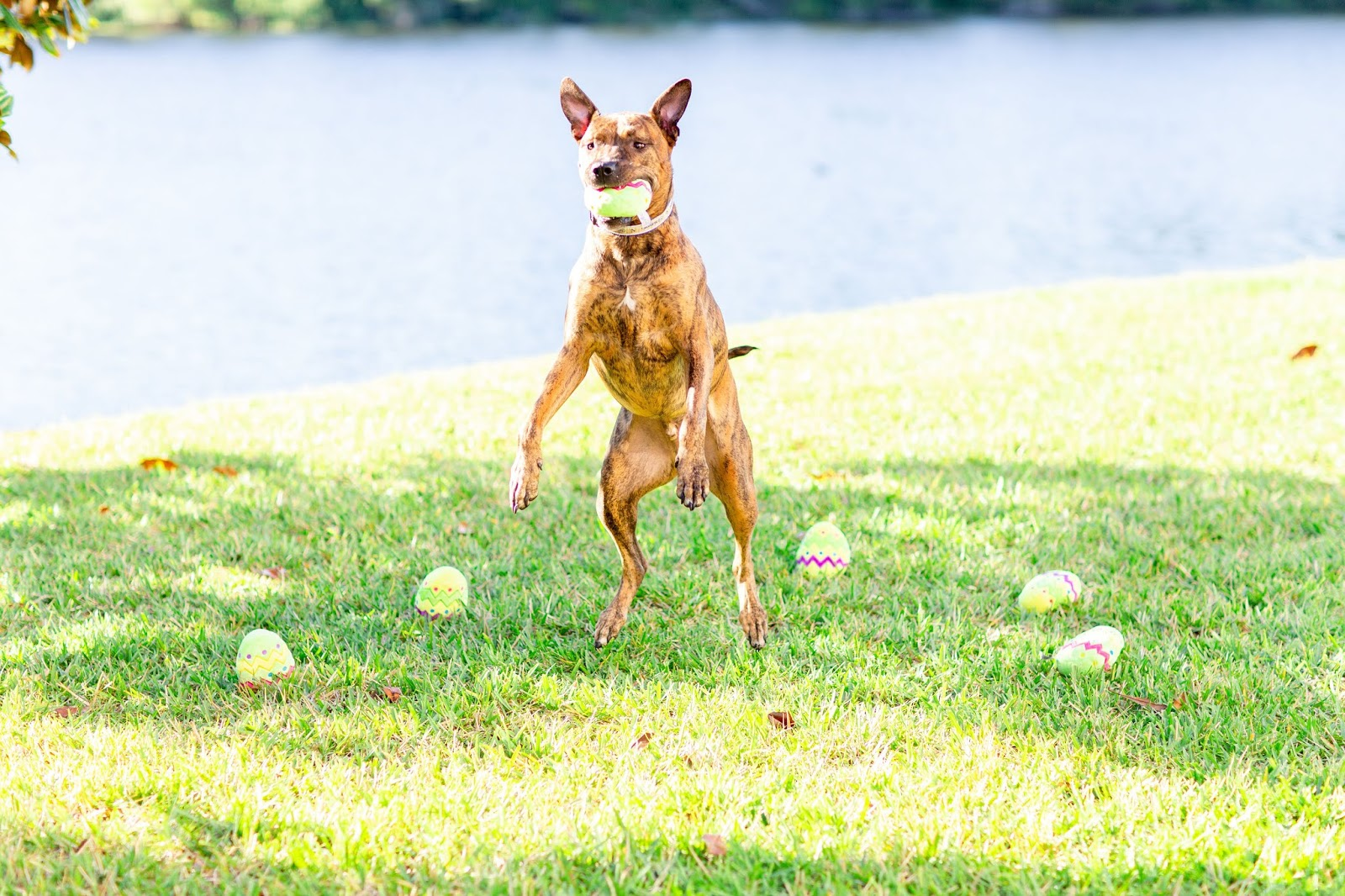 Brindle rescue dog catching a plush easter egg dog toy in a field in florida