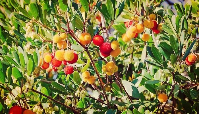 Árbol de madroño arbutus