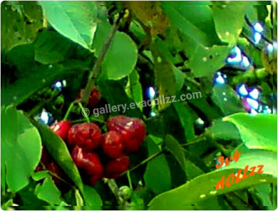 Jambu Air - Rose Apple Fresh Pictures