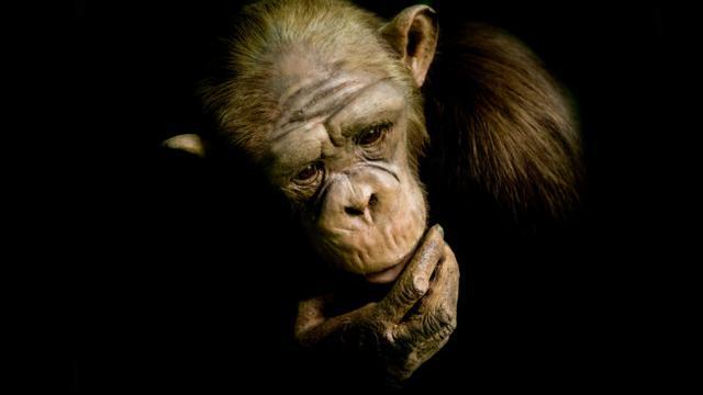 Misteri Oliver, Simpanse yang Jatuh Cinta Pada Manusia