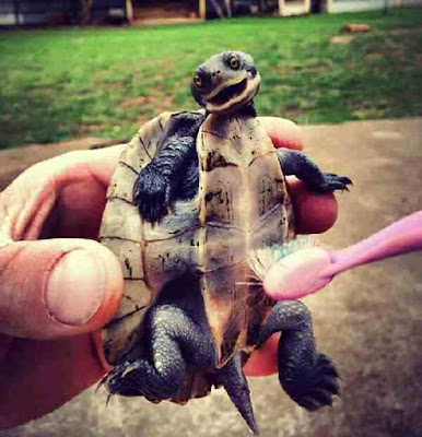 Stop tortoise being tickled by a toothbrush