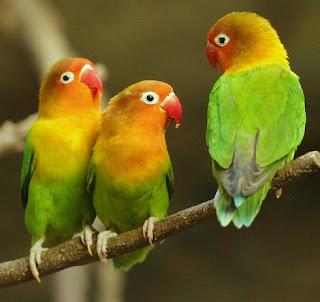 ciri-ciri lovebird paud balibu