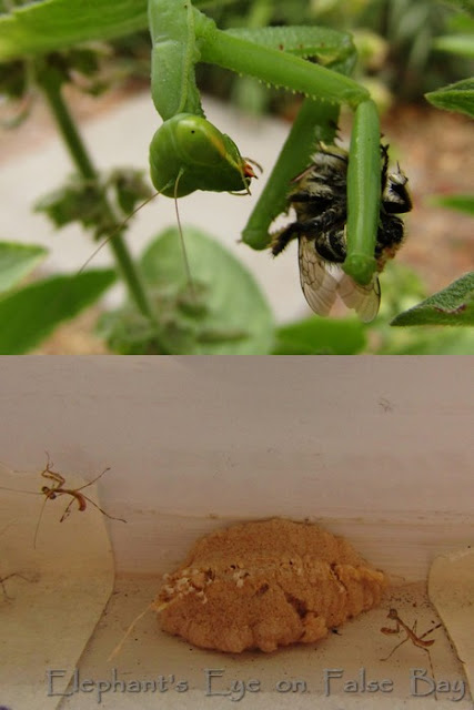 Preying mantis eating a live bee awfully slowly Newly hatched babies