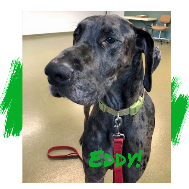 Merle Great Dane Adoption
