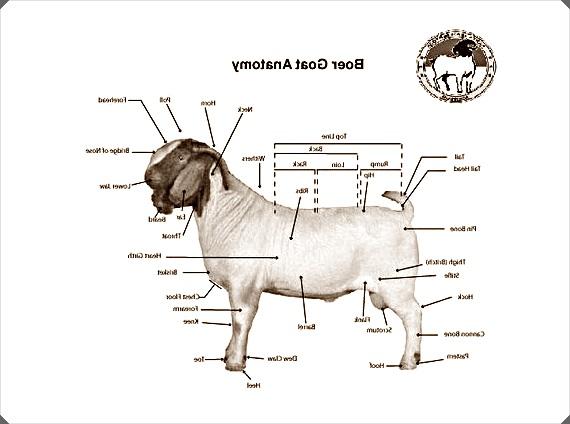 gambar 1 ciri ciri kambing boer