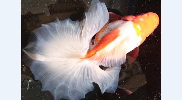 Jenis Ikan Mas Koki Tosakin