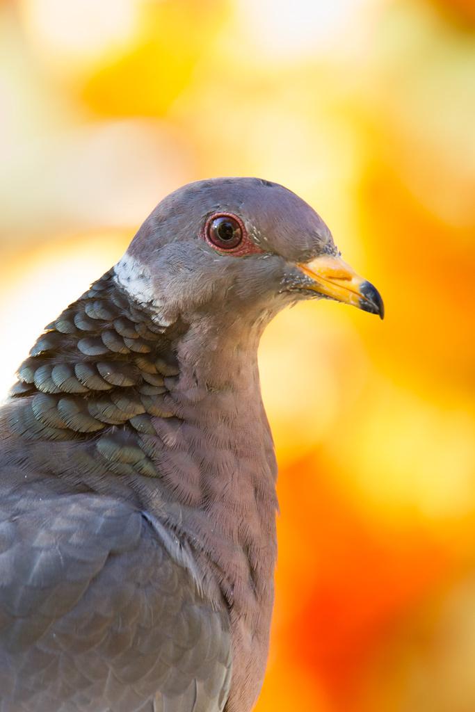 Chris The Photog: Pigeon Portrait