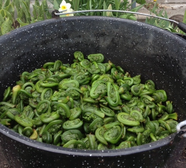 a big pot of fresh fiddleheads