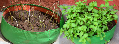 how to grow mint/pudina at home in pots/grow bags