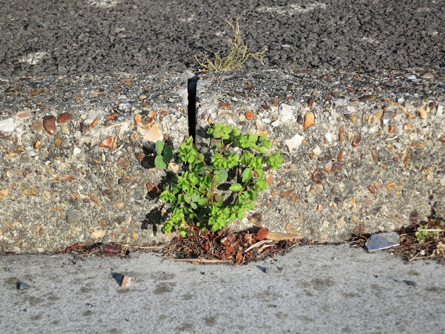 Small Petty Spurge (Euphorbia peplus) plant growing between pavement edging blocks in kerb.