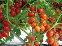 Teknik Pindah Tanam Tomat ke Media Dutch Bucket dengan Benar