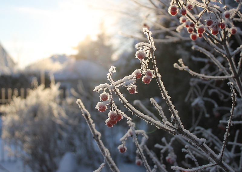 Hoar frost on red viburnum berries backlit by the sun