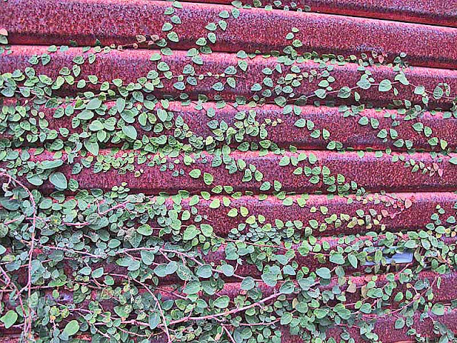 Vines growing on a rusted shutter