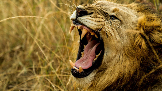 Wallpaper: Lion King in Wild Africa
