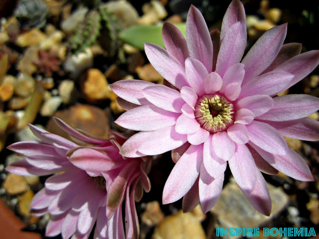 Gymnocalycium mihanovichii var. friedrichii, Ruby Ball Cactus, Rose Plaid Cactus, Moon Cactus, cactus, cacti, plant, plants, garden, gardening, nature, flower, flowers, bloom, cactus flower