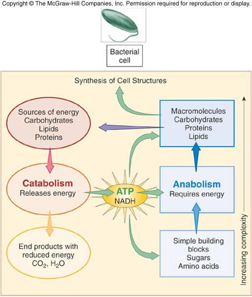 10 Contoh Katabolisme dan Anabolisme dalam Makhluk Hidup