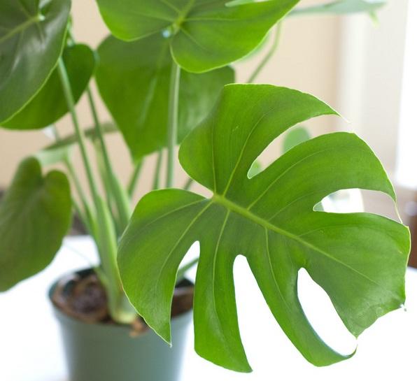 Jual monstera tanaman dengan nama ilmiah Philodendron monstera memiliki bentuk daun yang unik